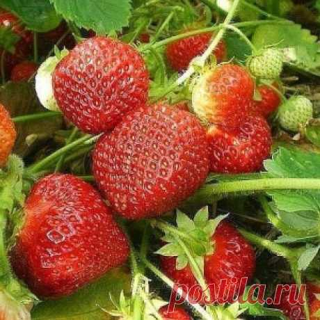 Two in one - top dressing of strawberry and pest control