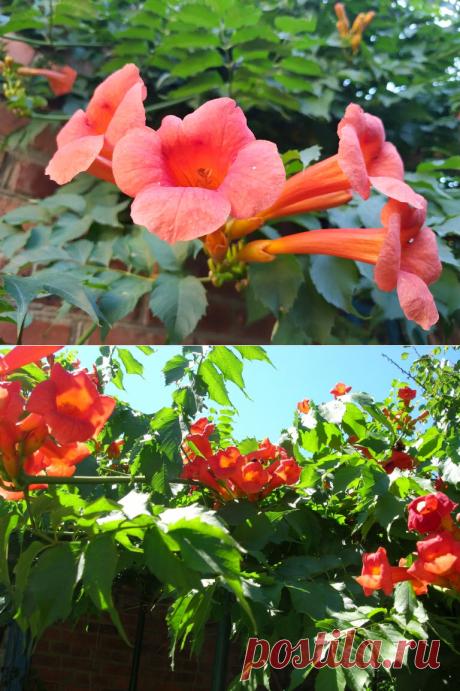 Кампсис - красивейшая цветущая лиана. Личный опыт выращивания!   6 соток. Светлана Аниканова   Яндекс Дзен #цветы #кампсис #посадкаиуход #дача #сад #огород #цветник