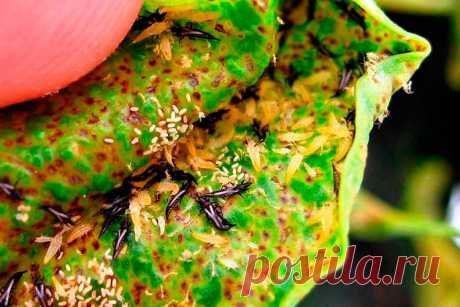 Вредитель комнатных растений Трипс. Это небольшие насекомые длиной 0,5-2 мм с тонким телом от желтоватого до черного цвета. Личинки длиной до 1 мм желтовато-белой окраски. Взрослые особи способны перелетать на сравнительно большие расстояния. Трипсы селятся на надземных частях комнатных культур колониями. Яйца откладывают внутри мягких тканей листьев. Обнаружить насекомых можно чаще на обратной стороне листовых пластинок. Взрослые вредители и личинки высасывают сок из листьев.