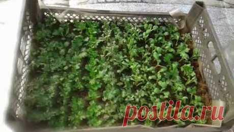Черенкования хризантемы 250 шт в ящиках