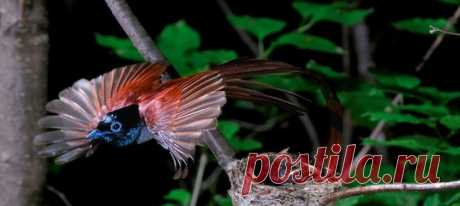 Чтобы увидеть красоту райских птиц, не обязательно лететь в тропики. Райская длиннохвостая мухоловка, одна из красивейших птиц нашей планеты, обитает на территории России.