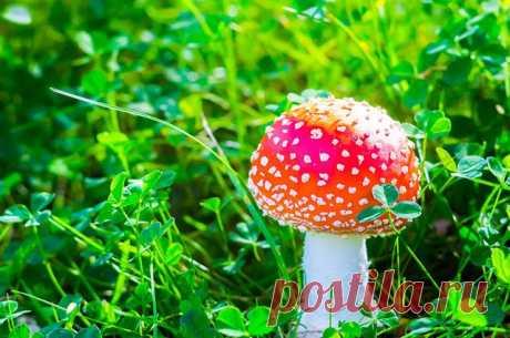 Скрытные убийцы. Как действуют на организм ядовитые грибы? Отравления грибами — история нередкая. Причем причин может быть много: от неправильной консервации, когда банки оказываются с ботулизмом, до неверной тактики сбора, при которой в корзинке оказываются ядовитые грибы.