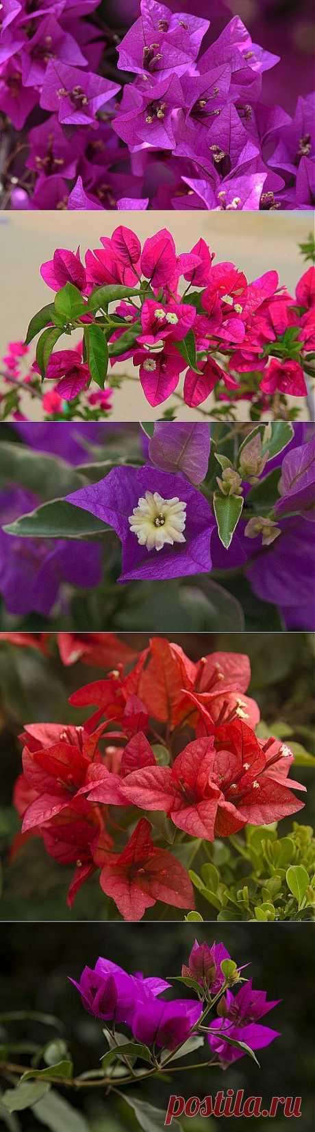 Бугенвиллия — необычно живописная лиана с яркими цветами
