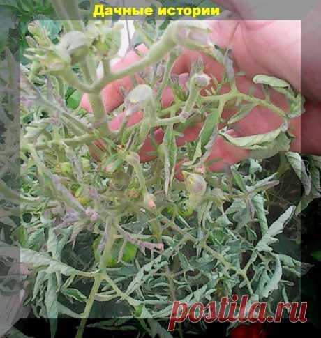 Столбур - серьезная болезнь томата, о которой многие дачники, даже не знают. | Дачные истории | Яндекс Дзен