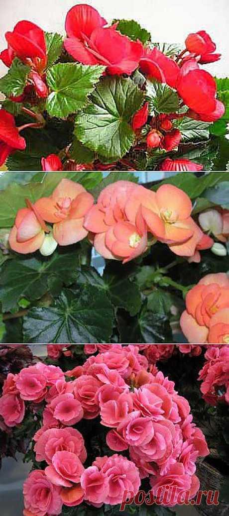 (+1) - Комнатная бегония — одно из любимых растений | САД НА ПОДОКОННИКЕ