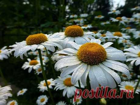tzubrovitch — «Ромашковый цвет...» на Яндекс.Фотках