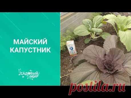 Обязательно подкормите капусту мелом! Супер урожай  гарантирован! Как посадить и подкормить капусту