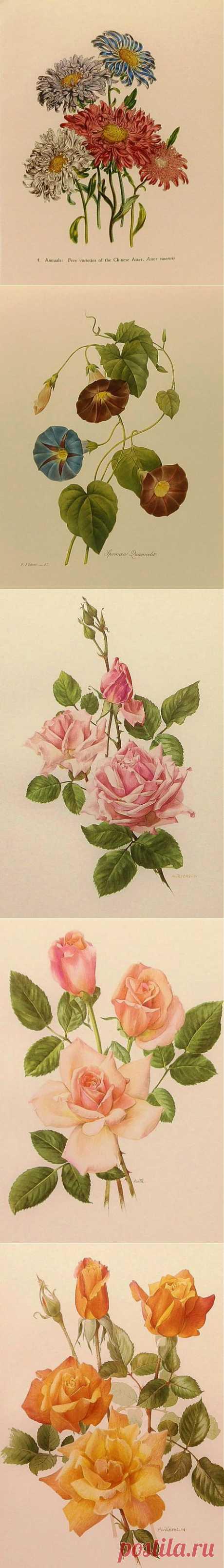 Ботанические иллюстрации.