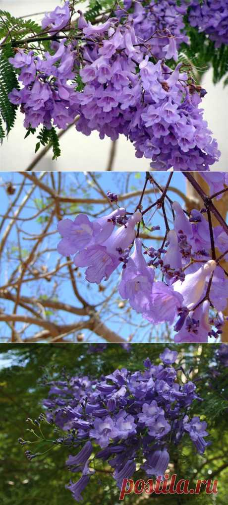 Цветы ЖАКАРАНДЫ мимозолистная (Jacaranda mimosifolia )