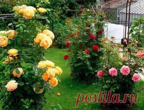 Моя любимая, дача в Instagram: «Йод и молoко прогнaли тлю с моих роз ⠀ Тля, пожалуй, самый отвратительный и живучий вредитель, который может поселиться в вашем саду. Вроде…»