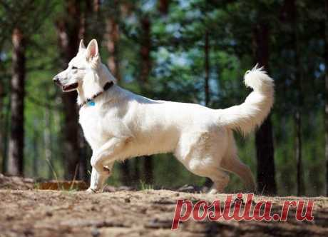 Белоснежные собаки разных пород / Питомцы