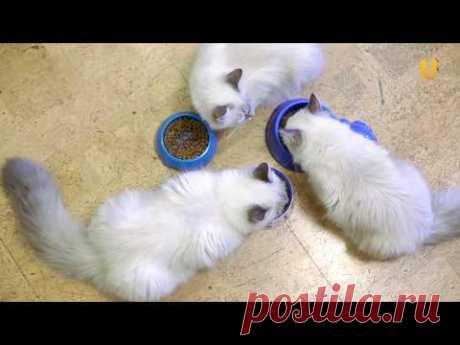 Глазами животных #310. Невские маскарадные кошки — достояние страны и сибирское очарование