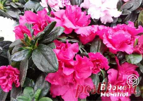 Азалия: посадка, уход и размножение Азалия — красочное цветущее растение родом из Китая и Японии, которое можно выращивать как в открытом грунте, так и в условиях дома или квартиры. В