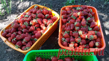 Моя самая любимая подкормка для клубники, которая ежегодно приносит мне ведра любимой ягоды   Садовый огород   Яндекс Дзен