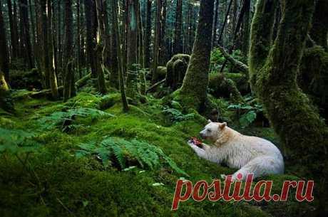 Канадский медведь-призрак любит лес и лососей (ФОТО+ВИДЕО) - Интересные факты. Интересные новости.