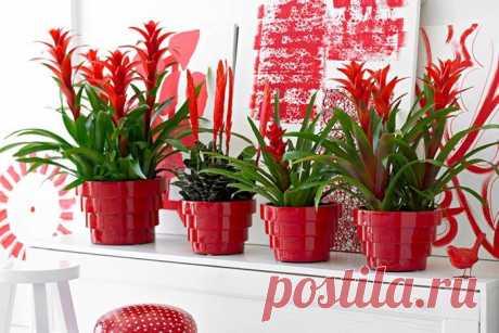 Все комнатные растения с красными цветами Пристрастия цветоводов разнообразны – кто-то предпочитает густую сочную зелень, кого-то привлекают ароматные цветы – белоснежные, фиолетовые, розовые или голубые. Домашние растения с красными цветами ...