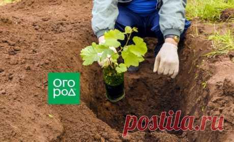La plantación de la uva en primavera – la instrucción para el novato | En el jardín (Огород.ru)