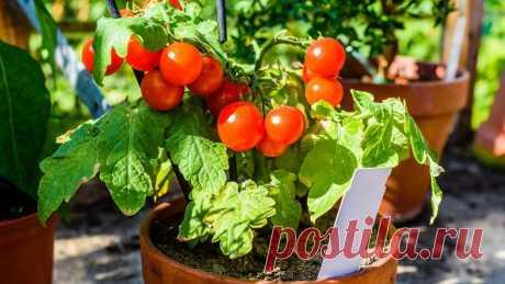 7 главных ошибок при выращивании овощей на окне   Огород на подоконнике   Яндекс Дзен