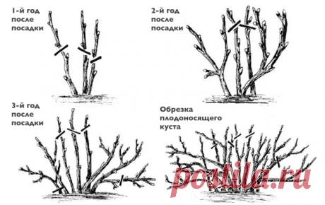 Типичные ошибки при обрезке смородины, которые вредят кусту и уменьшают урожайность | Дачный труженик | Яндекс Дзен