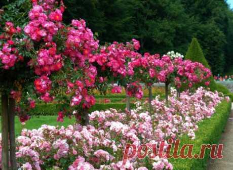 Партнеры для роз в миксбордерах.  Миксбордеры – самый популярный вид цветников. Большие или маленькие узкие ленты смешанных рабаток можно встретить в любом саду. И если в последние годы моду в миксбордерах диктовали травянистые многолетники, то сегодня на пик популярности вновь возвращаются розы.