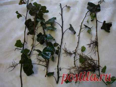 """Плющ вечнозеленый садовый """"Hedera"""" оптом от 10 шт. Миллионы частных объявлений о купле-продаже в твоем городе. Продается всё!"""