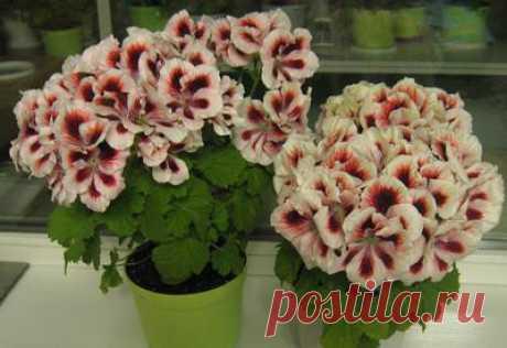 Королевские пеларгонии - всё о них - Страница 6 - Форум цветоводов Фрау Флора