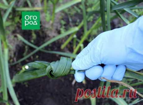 Зачем завязывать листья чеснока в узел | Капуста, лук, чеснок (Огород.ru)