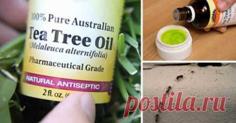 Используйте масло чайного дерева и избавляйтесь от токсичных бактерий, муравьев и микробов дома! - Советы на каждый день