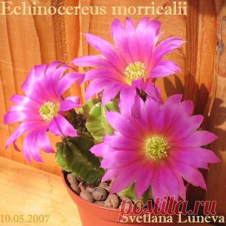 """Echinocereus morricalii » """"Колючие дети пустыни"""" - о кактусах в культуре"""