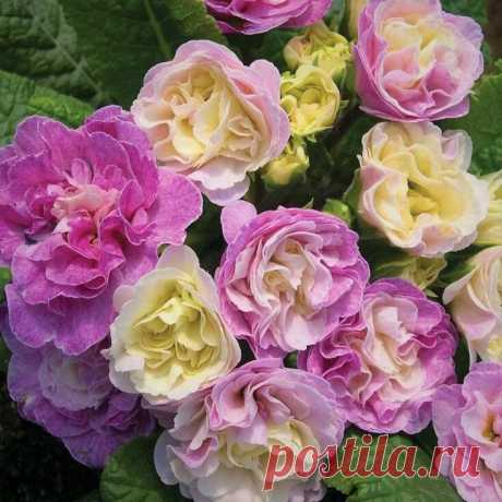 Неприхотливые морозостойкие цветы, которые не уступают по красоте даже розам   GardenLife   Яндекс Дзен