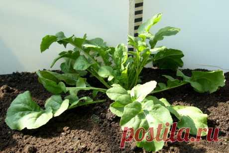 Как вырастить зимой зелень для салата? | Огород | Дача | Аргументы и Факты