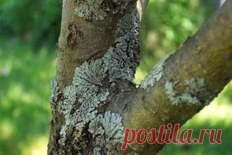 Ways of fight against lichens on fruit-trees In the thrown garden it is possible to see lichens on fruit-trees, ways of fight against them are available to each gardener. But it is better not to fight, but not to allow emergence of the union of a mushroom and an alga on tree bark....