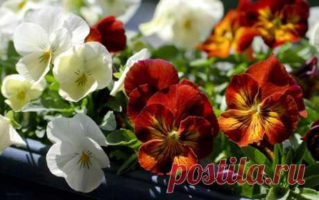 Анютины глазки (Виола). Выращивание цветочной композиции