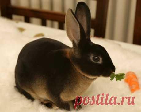 Los conejos de la raza de Reks: los indicios distintivos, el cultivo y los rasgos del contenido, los criterios de la elección