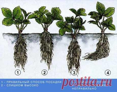 Как рассадить клубнику осенью: советы специалистов