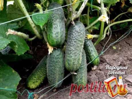 Как добиться плодоношения огурцов до самых заморозков?