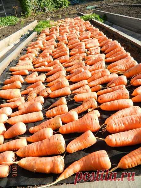100%-й способ зимнего хранения моркови