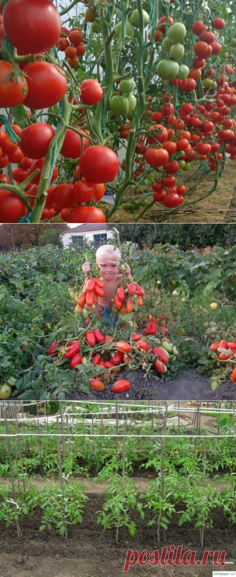огород - помидоры | Лариса Кузнецова | Фотографии и советы опытных дачников на Постиле
