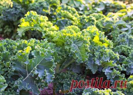 Капуста кале: красота и польза на грядке Выращивая овощи на своем огороде, дачники стремятся получить витаминный, экологически чистый урожай. Особой популярностью пользуется капуста белокочанная, немного реже на грядках встречается капуста ц…