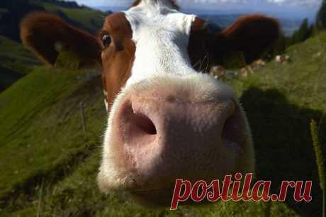 Как делают настоящий швейцарский сыр — весь процесс В округе Грюйер, в западной Швейцарии, с середины мая до середины октября, вот уже пятое поколение семьи Murith производит свой традиционный швейцарский сыр  Грюйер. Каждая головка сыра весит от 25 до 40 килограммов, время созревания которого занимает не менее шести месяцев. Семья производит по 200 головок каждый год, они готовятся из непастеризованного молока получаемого от собственного стада коров. В прошлом сезоне фотограф Денис Balibouse з