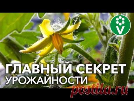 ТОМАТЫ НЕ ЗАВЯЗЫВАЮТСЯ? Главный секрет большого урожая помидоров прост!