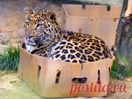 Большие котики тоже любят коробки • НОВОСТИ В ФОТОГРАФИЯХ