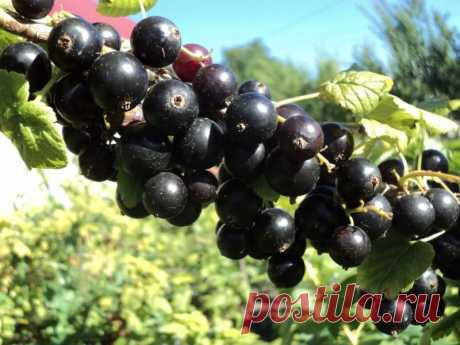 Easy ways to increase productivity of currant