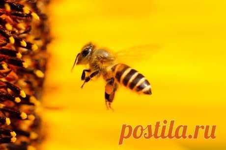 Интересные факты о пчёлах В мире существует около 21 тысячи видов и 520 родов пчёл. Их можно обнаружить на всех континентах, кроме Антарктиды. Сегодня мы расскажем читателям самые интересные факты об этих удивительных существах …