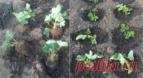 Посадка полуниці осінню. Як правильно та коли це робити, щоб пагони добре прижилися Кущі полуниці пересаджують навесні та на початку осені. Кожні три роки оновлюють ягідну грядку. Молоденькі кущики віддають врожай пізно, тому старі рослини оновлюють поступово. Молоду розсаду отримують з вусів, які ростуть зі старого куща, а