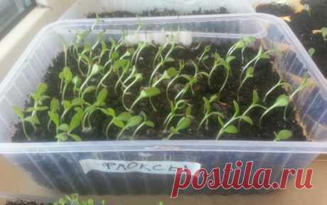 Флоксы однолетние: выращивание из семян, когда сажать на рассаду.