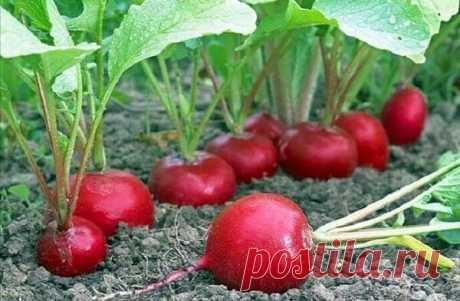 Супер способ выращивание раннего урожая редиса! | Роскошная Усадьба | Яндекс Дзен