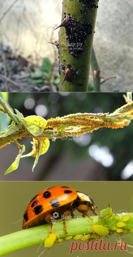 Как защитить сад и огород от тли: средства для борьбы и профилактики