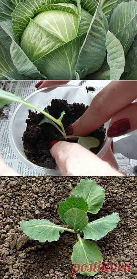 Как вырастить рассаду капусты и посадить ее в грунт