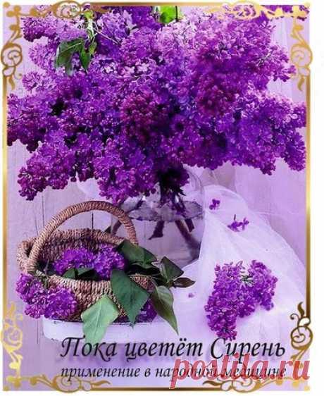ПРИМЕНЕНИЕ СИРЕНИ В НАРОДНОЙ МЕДИЦИНЕ Сирень - хорошо известное в народной медицине лекарственное средство. Помимо великолепного внешнего вида, сирень обладает многими полезными и лечебными свойствами для организма. Сирень - очень красивые растения, каким оживлением и позитивом они озаряют май, когда цветут...
